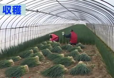 [Nhật Bản] Cần tuyển 3 nữ Nông Nghiệp trồng hành