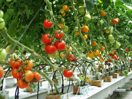 [Nhật Bản] Tuyển 3 nữ  trồng trọt, thu hoạch rau củ quả