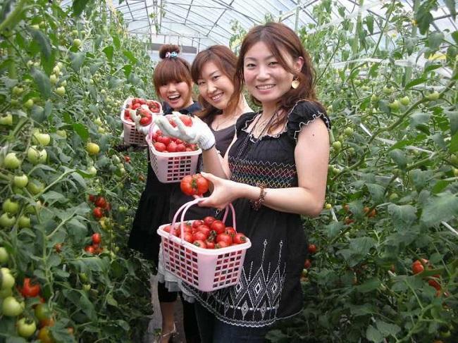 [NHẬT BẢN] Tuyển 2 nữ trồng, thu hoạch cây cà chua và sản xuất nước đóng chai từ cà chua.